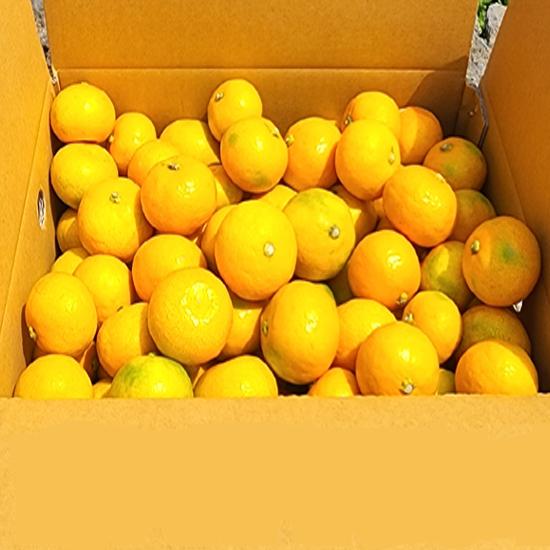 제주직송 타이벡감귤 10kg 외 감귤/황금향/한라봉/레몬특가