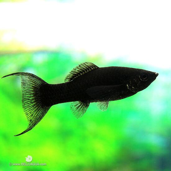 헬로아쿠아 열대어) 블랙몰리 5마리 (키우기쉬운물고기 초보자용